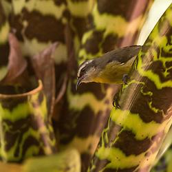 Cambacica clicada pelo Instituto Últimos Refúgios em Santa Teresa, região serrana do ES. As cambacicas geralmente vivem solitária ou aos pares e é bastante ativa. Se alimentam de néctar, frutas e artrópodes e também adoram as águas feitas para beija-flores. São muito briguentas, e chegam a cair engalfinhadas no solo, onde continuam a luta.