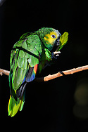 Neotropical parrot or New World parrot at the Parque das Aves at the Iguazu Falls, Brazil