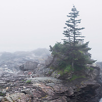 Lone pine tree in heavy fog, Low tide, West Quoddy Head State Park, Maine
