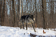 A black wolf (Canis lupus) moves through wooded winter habitat. Captive pack.