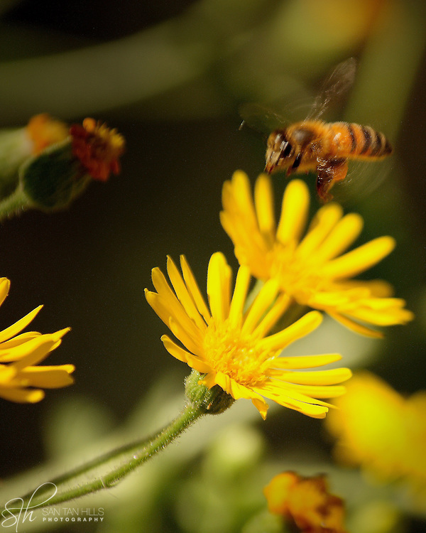 Close-up of a bee hovering above a flower, at the Hassayampa River Preserve, Wickenburg, AZ