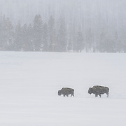 American Bison (Bison bison) in a snow storm. Yellowstone National Park
