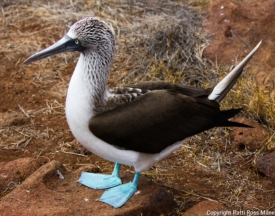 A blue footed Booby, unique to the Galapagos Islands.