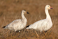 A pair of Snow Geese (Anser caerulescens) at Iona Beach Regional Park in Richmond, British Columbia, Canada.  Delta and Richmond fields and wetlands are often a stop over for the Snow Geese as they migrate from their summer breeding grounds to warmer winter habitat.