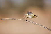 Common Chiffchaff (Phylloscopus collybita) jumping from a branch, negev desert, israel
