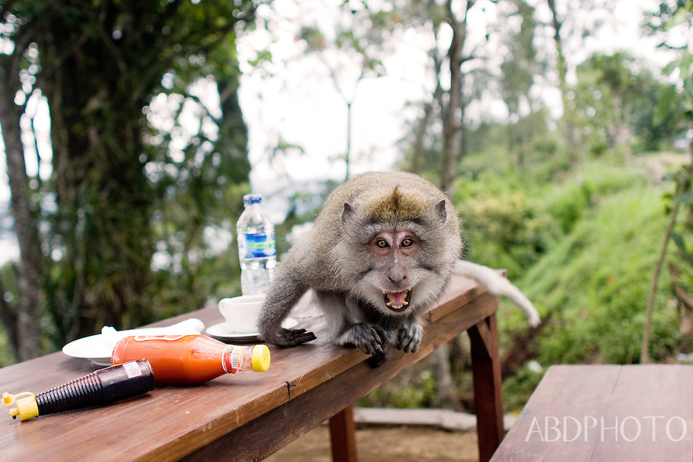 Angry Monkey stealing food Bali Indonesia