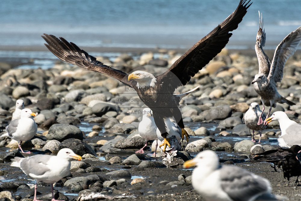 An adult bald eagle takes off after feasting on fish scraps on the beach at Anchor Point, Alaska.
