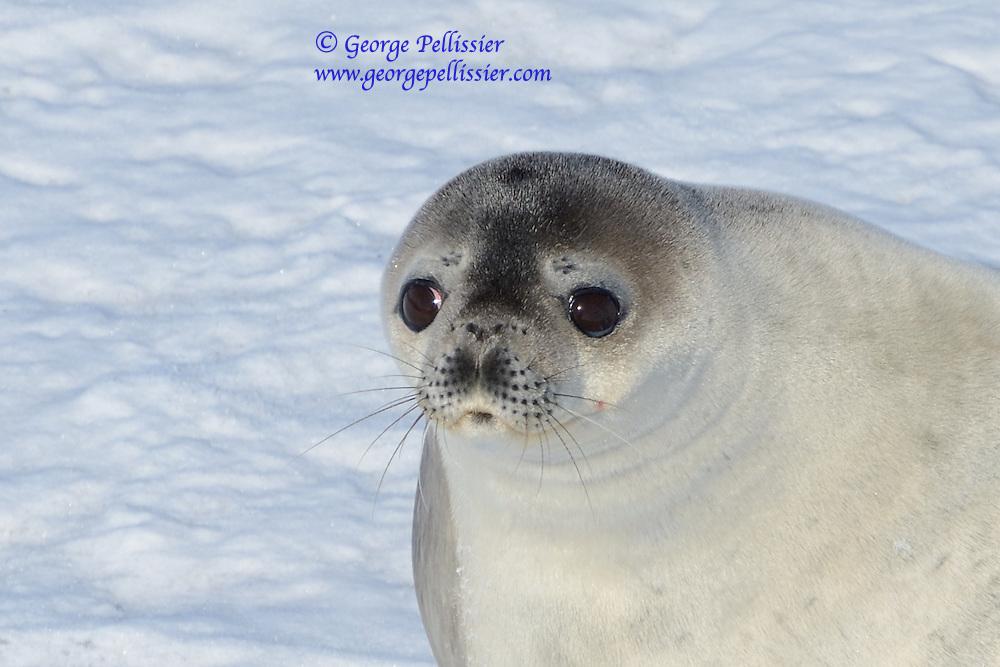 A Weddell Seal (Leptonychotes weddellii) in McMurdo Sound, Antarctica.