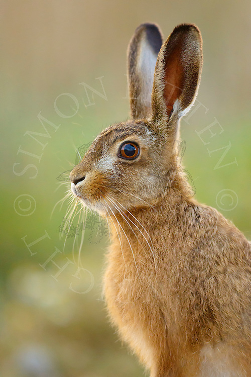 European Hare (Lepus europaeus) juvenile on farmland, Norfolk, UK.