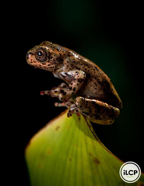 Hispaniola laughing frog, Osteopilus dominicensis, in Macaya Biosphere Reserve, Massif de la Hotte, Haiti