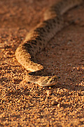 A Western Diamondback Rattlesnake, (Crotalus atrox), in Ironwood Forest in the Sonoran Desert, Eloy, Arizona, USA.
