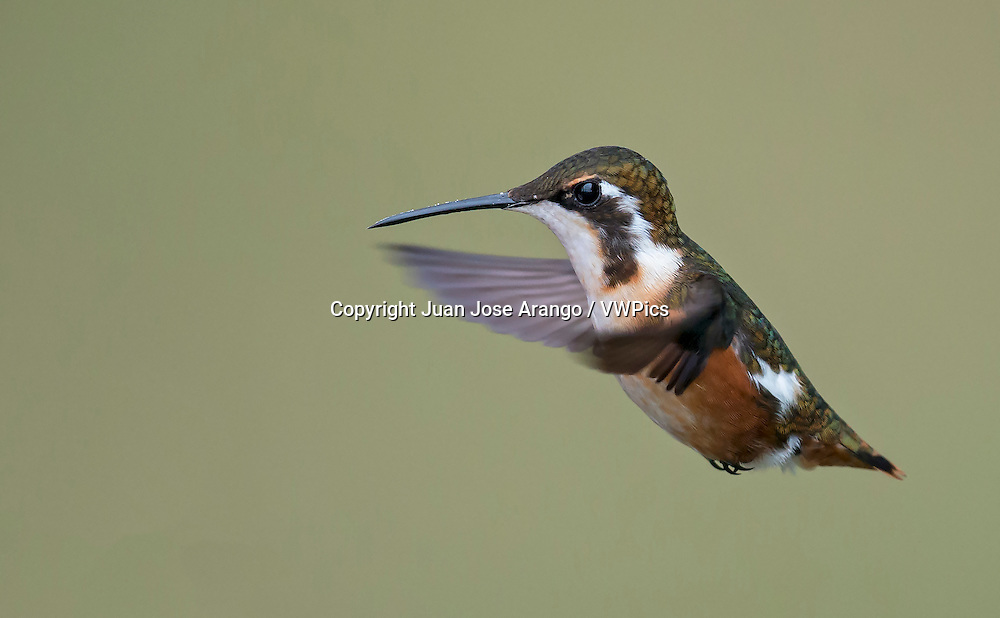White-bellied Woodstar (Chaetocercus mulsant), female, Jardin, Antioquia