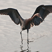Reddish Egret (Egretta rufescens) at Merritt Island National Wildlife Sanctuary, Florida. Photo by William Drumm, 2013.