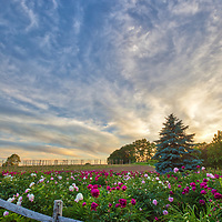 Massachusetts landscape sunset photography of the beautiful Belkin Family Lookout Farm with a sea of peonies flowers in Natick, MA.<br />