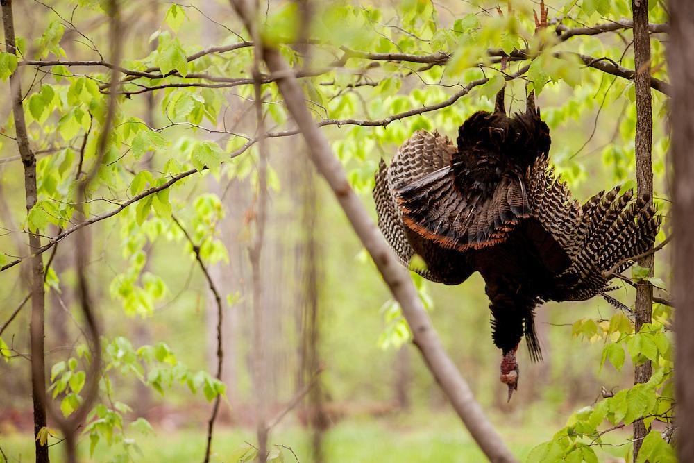 Turkey hanging