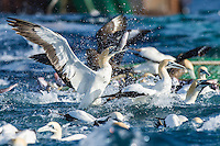 Cape Gannets scavenging from a commercial purse-sein net as it is hauled to the ocean surface, Cape Canyon Trawl Grounds, South Africa