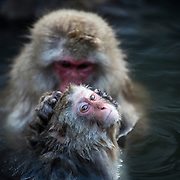 NAGANO, JAPAN - DECEMBER 27 : Japanese wild monkeys known as 'snow monkeys' bathe in a hot spring at the Jigokudani Wild Monkey Park in Yamanouchi town, Nagano prefecture on December 27, 2015. This Macaque troop regularly visits the Jigokudani (Hell's Valley) springs to escape the cold. This behaviour originates from a female Macaque who ventured into the hot springs to retrieve soybeans in 1963. <br /> <br /> Photo: Richard Atrero de guzman