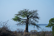 Baobab (Adansonia digitata) tree. Photographed in Lake Kariba, Zimbabwe.