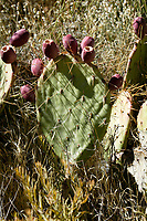 Prickly Pear Cactus (Cactaceae opuntia), Red Rock Canyon - west of Las Vegas, Nevada, USA   Photo: Peter Llewellyn