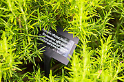 Rosemary herb, Rosmarinus officinalis, in organic vegetable and herb garden at Raymond Blanc Hotel in UK