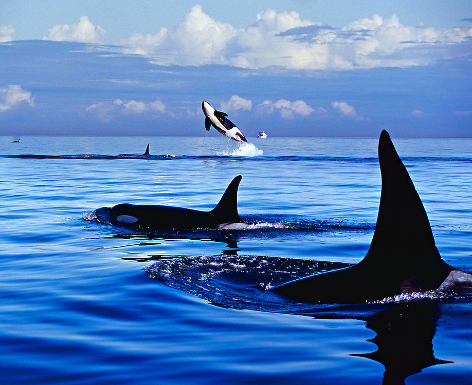Orcas (Killer Whales) surface and jump in the Pacific Ocean boundary waters as they transit during migration between the United States and Canada.<br /> The killer whale or orca (Orcinus orca) is a toothed whale belonging to the oceanic dolphin family, of which it is the largest member. Killer whales have a diverse diet, although individual populations often specialize in particular types of prey. Some feed exclusively on fish, while others hunt marine mammals such as seals and dolphins. They have been known to attack baleen whale calves, and even adult whales. Killer whales are apex predators, as there is no animal which preys on them. Killer whales are considered a cosmopolitan species, and can be found in each of the world's oceans in a variety of marine environments, from Arctic and Antarctic regions to tropical seas.<br /> <br /> Killer whales are highly social; some populations are composed of matrilineal family groups (pods) which are the most stable of any animal species. Their sophisticated hunting techniques and vocal behaviors, which are often specific to a particular group and passed across generations, have been described as manifestations of animal culture.<br /> Wild killer whales are not considered a threat to humans, but there have been cases of captive orcas killing or injuring their handlers at marine theme parks. Killer whales feature strongly in the mythologies of indigenous cultures, with their reputation ranging from being the souls of humans to merciless killers.