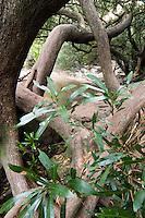 TRONCOS DE MATAOJOS (Pouteria salicifolia), PARQUE NACIONAL EL PALMAR, PROV. DE ENTRE RIOS, ARGENTINA