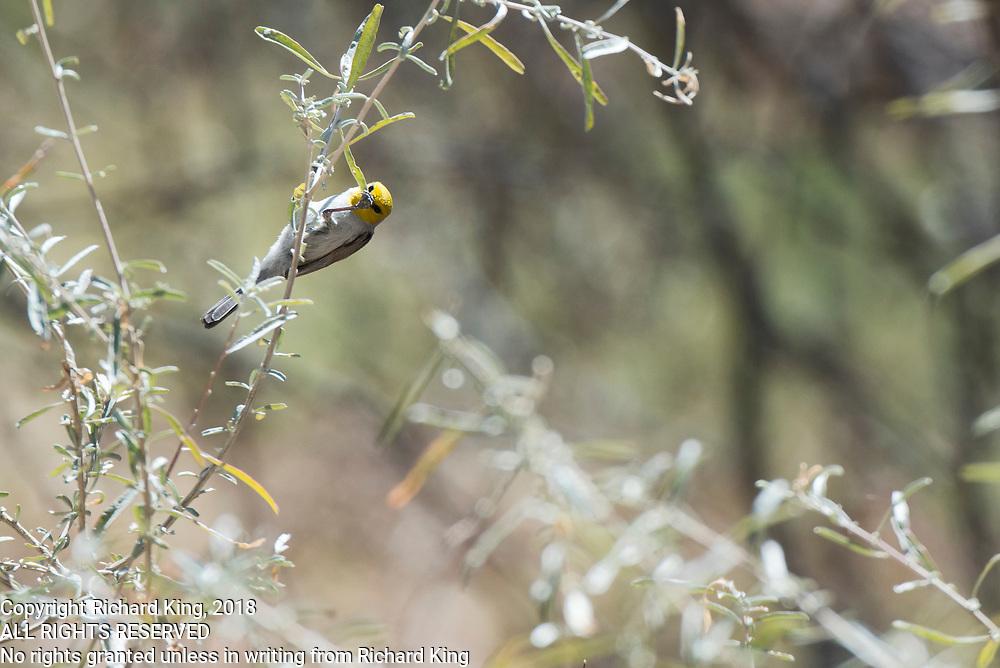 Birding photographs from Camp Verde, Montezuma Castle National Monment