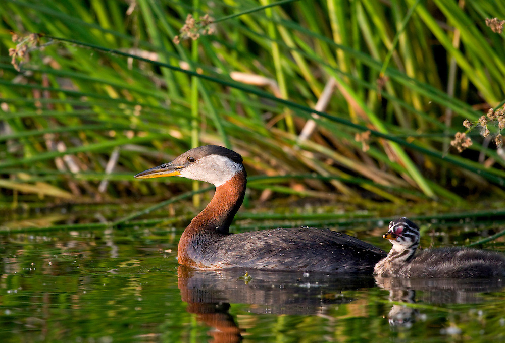 Alaska. Red-necked Grebe (Podiceps grisegena) and chick looking for food in marsh.