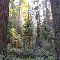 Foggy redwoods and sunstar. Jedediah Smith State Park, California