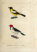 hand coloured sketch Top: white-winged shrike-tanager (Lanio versicolor) [Here as Tachyphonus versicolor]) Bottom: yellow-billed cardinal (Paroaria capitata) [Here as Tachyphonus capitatus]) From the book 'Voyage dans l'Amérique Méridionale' [Journey to South America: (Brazil, the eastern republic of Uruguay, the Argentine Republic, Patagonia, the republic of Chile, the republic of Bolivia, the republic of Peru), executed during the years 1826 - 1833] 4th volume Part 3 By: Orbigny, Alcide Dessalines d', d'Orbigny, 1802-1857; Montagne, Jean François Camille, 1784-1866; Martius, Karl Friedrich Philipp von, 1794-1868 Published Paris :Chez Pitois-Levrault et c.e ... ;1835-1847