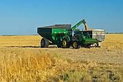 harvesting wheat<br /> Carlyle<br /> Saskatchewan<br /> Canada