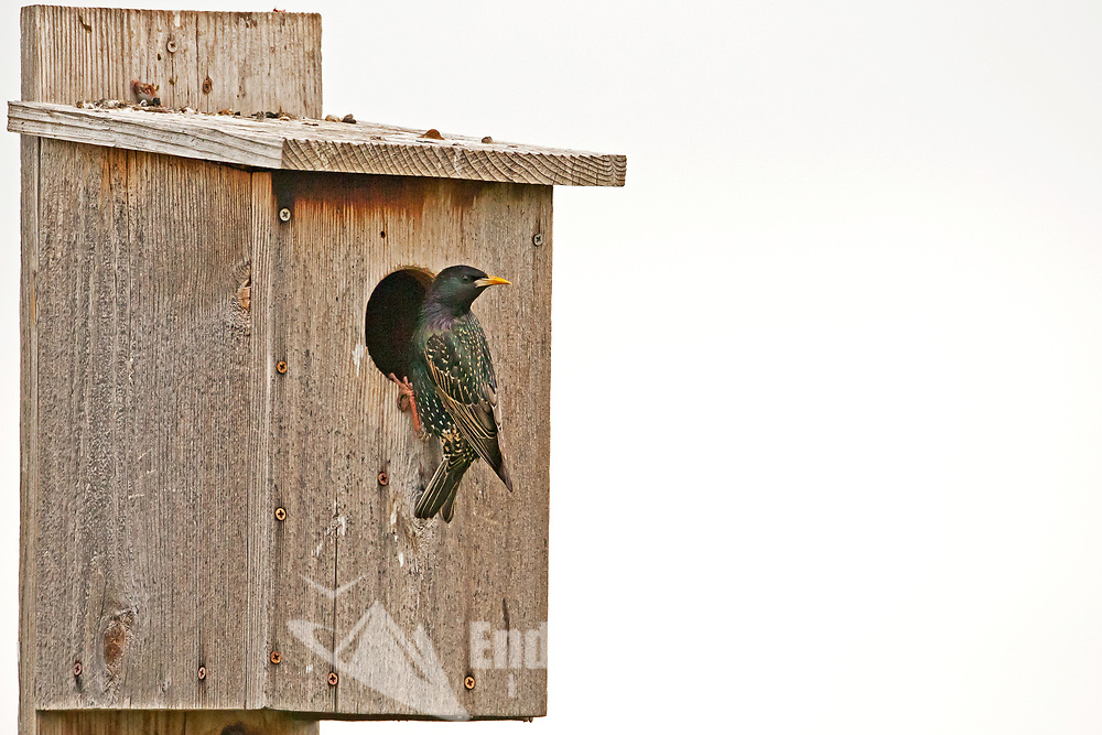 A European Starling perches on the opening to a nesting box on a cloudy day.