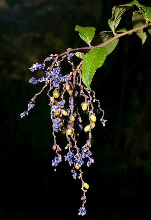 The flowers of Monnina sp., from near Mindo, Ecuador.