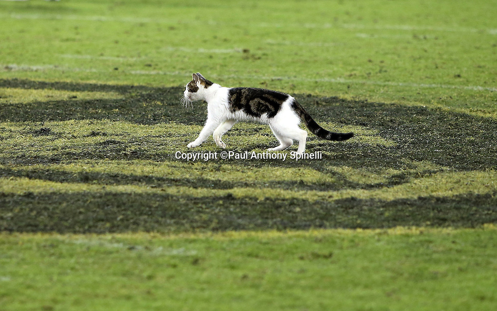 A cat walks across the mid-field logo after the Jacksonville Jaguars 2015 week 11 regular season NFL football game against the Tennessee Titans on Thursday, Nov. 19, 2015 in Jacksonville, Fla. The Jaguars won the game 19-13. (©Paul Anthony Spinelli)