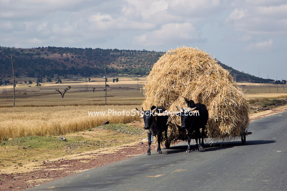 Oxen cart laden with straw. Photographed in Ethiopia, Africa