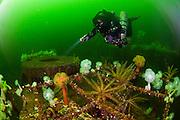 The wreck of the Cape Breton is a popular destination for scuba divers in Nanaimo, Vancouver Island, British Columbia.