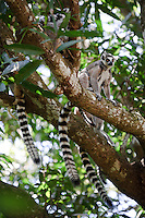 A group of ring-tailed lemurs in a tree, Nahampoana Reserve, Fort Dauphin, Madagascar.