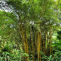 Bamboo Grove near Luang Prabang, Laos <br />