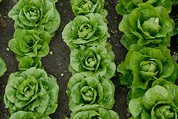 Rows of butterhead or bibb lettuces at RHS Wisley gardens Surrey UK