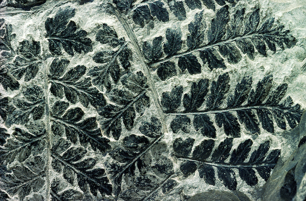 Fossilised fern of type Sphenopteris preserved in Carboniferous coal sample 300 million years old. Excellent example