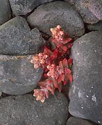 0603-4019 ~ Copyright: George H.H. Huey ~ Santa Cruz Island live-forever [Dudleya nesiotica].  Endemic to SCI.  Santa Cruz Island Preserve, The Nature Conservancy.  Channel Islands, California