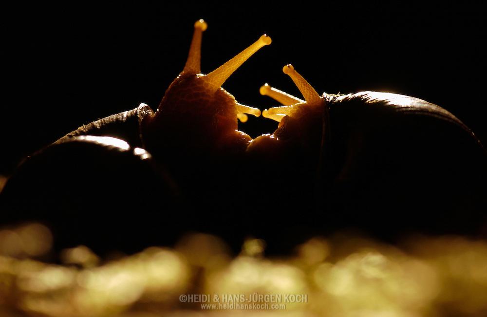 Deutschland, DEU, 2002: Weinbergschnecken (Helix pomatia) in der ersten Paarungsphase. Beide Schnecken betasten sich gegenseitig mit ihren Fuehlern. | Germany, DEU, 2002: Edible snail (Helix pomatia) in the first phase of mating, both snails feeling each other with their antennas. |
