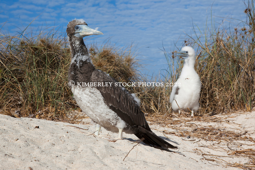 Two Brown Booby chicks  (Sula leucogaster) on the Lacepede Islands to the north of Broome.