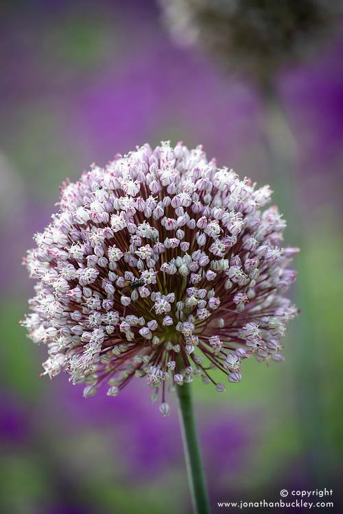 Leek 'St. Victor' in flower. Allium porrum
