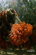 cluster of mangrove tunicates, Ecteinascidia turbinata, attached to roots of red mangroves, Rhizophora mangle, this orange sea squirt is the original source of the anti-cancer drug Ecteinascidin, Abaco Islands, Bahamas ( Western Atlantic Ocean )