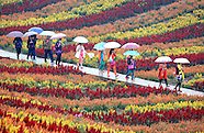 China - Colourful Flower Fields - 09 Oct 2016