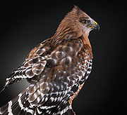 The beautiful profile of Red, a Red Shouldered Hawk (Buteo lineatus).
