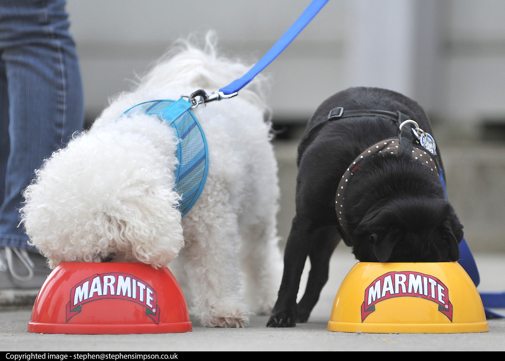 """© under license to London News Pictures. LONDON, UK  06/05/2011. Mario (L) and Drew (R) tuck in. Dogs Enjoying Marmite at Battersea Dogs and Cats Home today (06 May 2011). 100 Jars were delivered to the home as part of a prize. You either love it or hate it, but at Battersea, marmite is causing quite a stir amongst the dogs. Jars of the yeast extract, which has polarised the nation into lovers and haters, are polished off in no time by Battersea's canine residents who have developed quite a taste for the spread. Today 100 of the famous yellow topped glass jars will cause tails to wag in the kennels when they are delivered to the Home. The year's supply of Marmite is a rather unusual, but very welcome prize to Battersea Chief Executive Claire Horton who will be presented with one of the first ever Dogs Today Endal Awards for Services to Animals. Claire Horton who requested the prize for the dogs, in favour of the usual dog food awarded,  commented: """"Battersea dogs definitely 'love it' when it comes to Marmite. We like to provide our dogs with lots of different activities throughout the week to try and help them cope better in a kennel environment. One of the dogs' favourites is licking Marmite from chew toys - it keeps them entertained for hours."""" Claire will be presented with her Endal Award by Marmite Brand Manager David Titman at the 2011 London Pet Show, taking place at Kensington Olympia, tomorrow, Saturday 7th May.Photo credit should read Stephen Simpson/LNP."""
