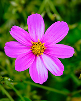 Cosmos flower. Image taken with a Fuji X-T3 camera and 80 mm f/2.8 OIS macro lens (ISO 160, 80 mm, f/5.6, 1/180 sec).