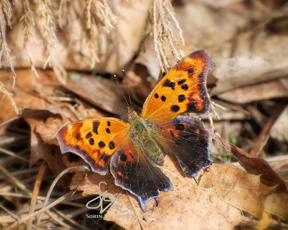 Eastern Comma in Spring